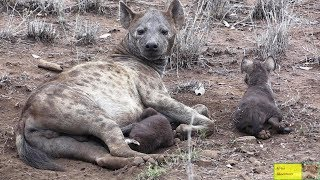 CUTE Baby Hyena Twins With Caring Mother