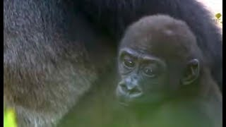 #04. Too cute! Gorilla baby (7 months old)