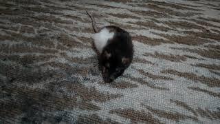 Крыса отходит от наркоза