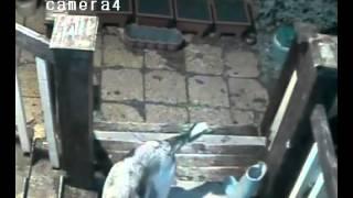 Собака ворует сапоги