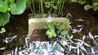 私はメダカの飼育が趣味です。(水槽に赤玉土を洗って入れ水を入れると最...