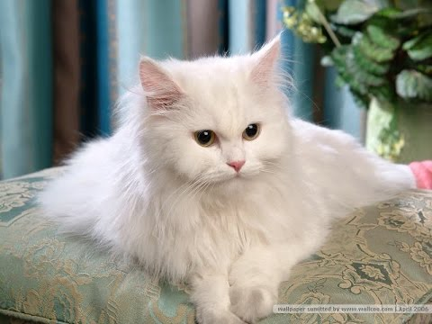 Persian Cat Breed | Persian Cat: An Exotic Looking Breed of Cat