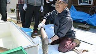 イトウの繁殖に取り組む元高校教員の平野井篤さん(78)が5月9日、...