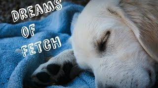 Golden Retriever Dreaming About Playing Fetch
