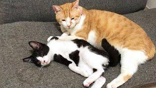 暴れ過ぎで成猫に確保された子猫
