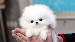 Cute Pomeranian Puppies Videos Compilation #2 | Cutest and Funny Dogs