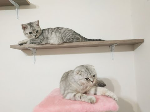 ДВА КОТА 😻 Шотландская Вислоухая Кошка и Прямоухий Котенок 🐱 Один день из жизни котов