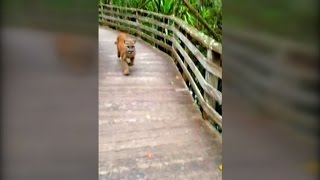 woman comes face to face with panther i was hoping it wasn t angry