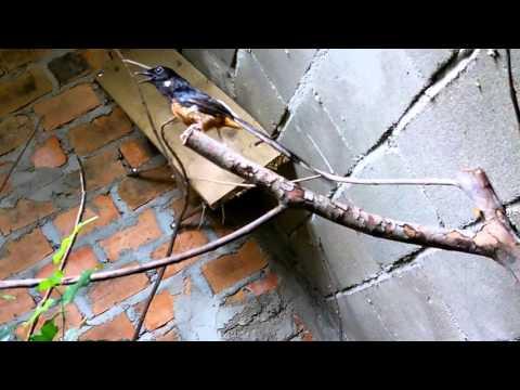 Burung murai batu kawin
