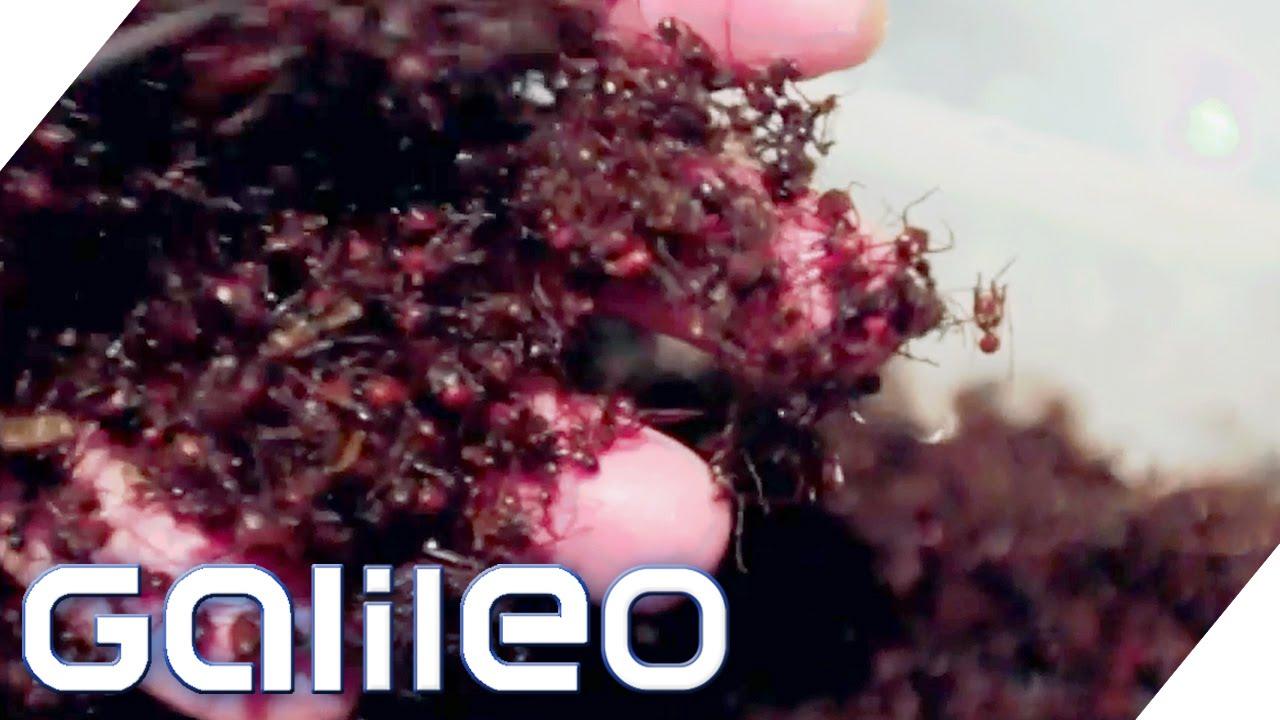 Ameisen zum Frühstück - Der Amazonas-Koch | Galileo | ProSieben