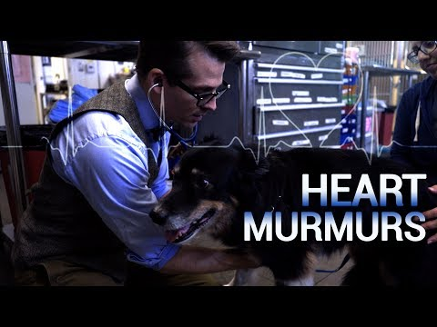 Heart Murmurs in Cats and Dogs