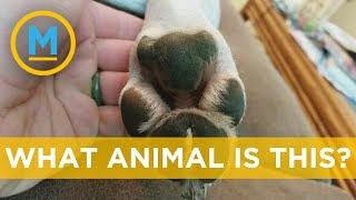 Dog paws look just like an adorable marsupial and there is proof | Your Morning thumbnail
