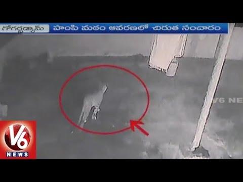 Cheetah Wandering At Tirumala Gogarbham Dam   Devotees In Panic   V6 News