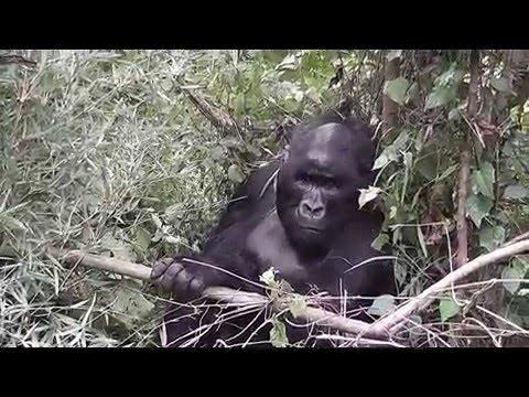 Gorilla Trekking, Virunga NP, DR Congo, Munyaga Family