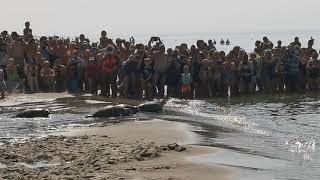 Vrijlating van 4 zeehonden @callantsoog #sealrescue #pieterburen #zeehonden