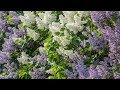 Gambar cover Beautiful Instrumental Hymns, Peaceful instrumental, Piano and Flute,  Tim Janis
