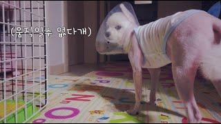 강아지 눈 상처 / 눈 긁음 방지 깔대기