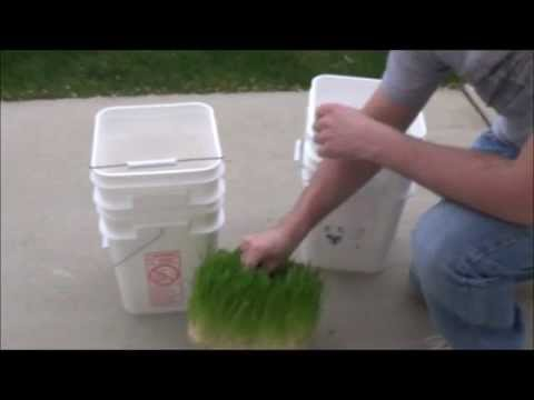 Growing Barley Fodder with a 5 gallon bucket. Simple Fodder System