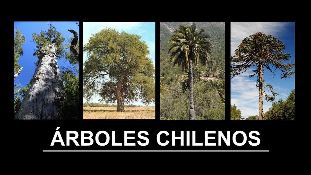Rboles chilenos youtube for Arboles con sus nombres y caracteristicas