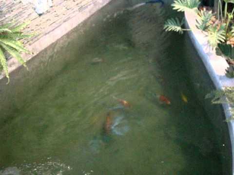 บ่อปลาคาร์ฟบ้านมณีวัตร
