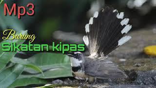 Download Mp3 Mp3 Burung Sikatan Kipas Gacor Cocok Untuk Di Jadikan Suara Pikat Di Jamin 100%
