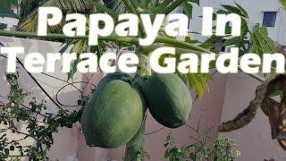 Papaya plant with seed Gardening Sekho in Hindi/Urdu Part-2