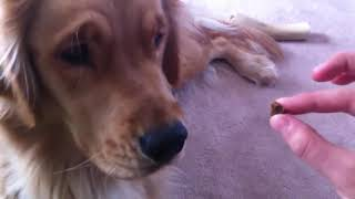 Dog Patiently Waits for a Treat