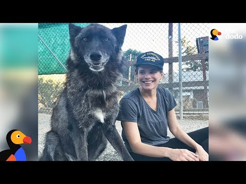 Rescue Wolfdog Finds A New Pack to Howl With - SARGE | The Dodo