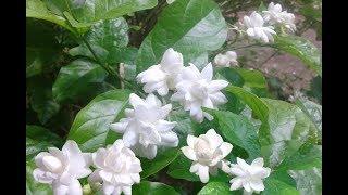 Jasminum Sambac Plant - Mogra - Arabian Jasmine..