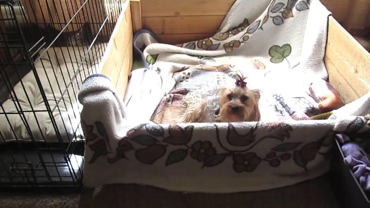 My Yorkie 8 Weeks Pregnant Room Setup Youtube