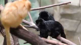 Face-off between the golden lion tamarins and callimico monkeys
