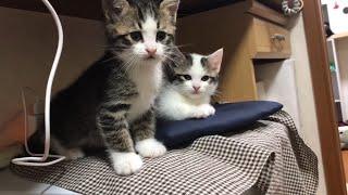 モゾモゾと顔を出す子猫が超かわいい   Cute kitten with a face.