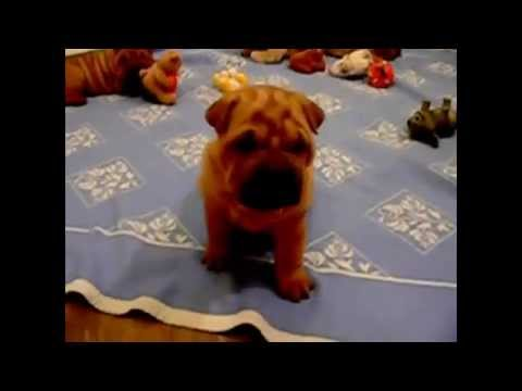 Shar-Pei Puppies Playing (cute!) - Dogs and Puppies