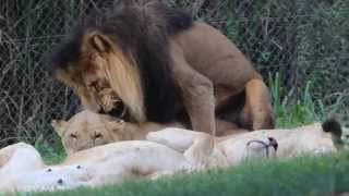 Lions Mating, in Lion Park, Chartwell Gauteng, South Africa, A…