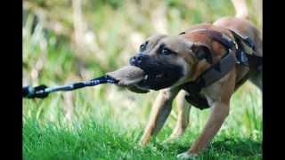 Staffordshire Bull Terrier Sporting Club Nl