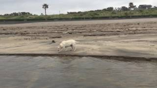 浜辺で遊ぶ犬,ラブラドール,ミックス犬マル,デブ犬,かわいい犬,Cute dog...