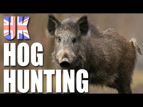 UK Hog Hunting