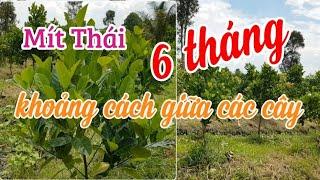 Khoảng cách trồng cây mít Thái siêu sớm tại Hậu Giang