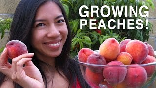 How To Grow Peaches + Harvesting!