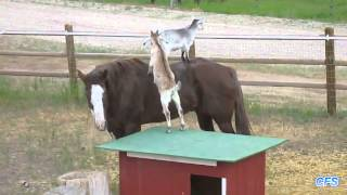 Goats Riding Horses Compilation     CFS - Funny Videos 2015