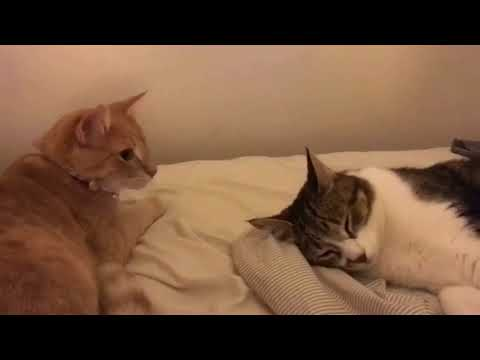 Two Cats Play Fight on Bed - 987991