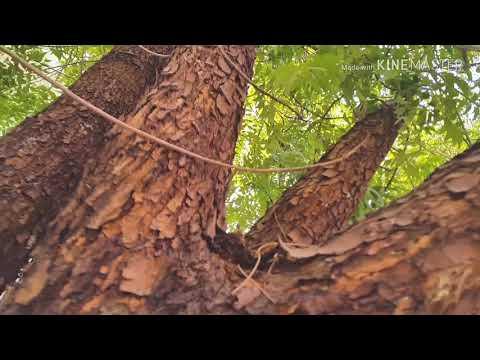 شجرة النييم (الشريش) Neem Tree