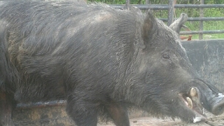 BoarBuster Trap Loading Texas Wild Hogs
