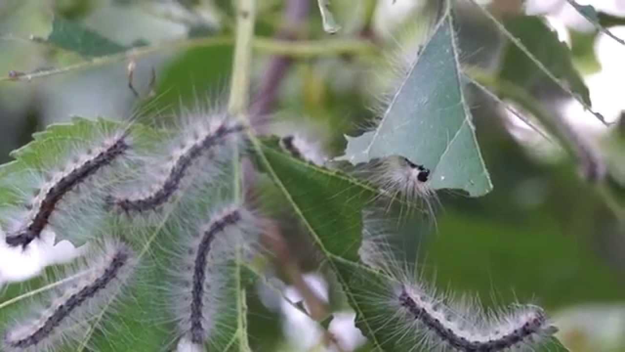 Larva di Ifantria americana (larva di farfalla) divorandosi foglie di Gelso. Invasione di insetti