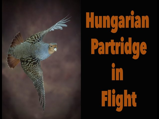 Hungarian Partridge flying, Gray Partridge mount. Art of Taxidermy