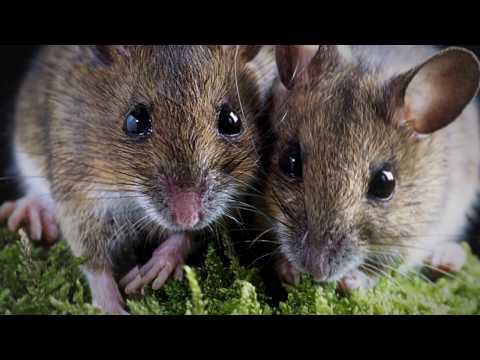 Как плодятся мыши