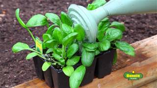 How to Plant Lettuce, Spinach, Swiss Chard, and Arugula