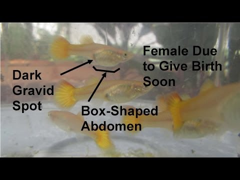 How to Tell When a Pregnant Guppy Will Give Birth Soon