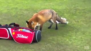 Fox steals mans wallet on golf course II Golf Gods