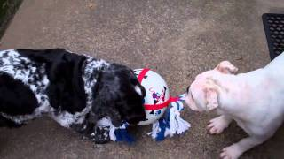 British Bulldog And Cocker Spaniel At Play